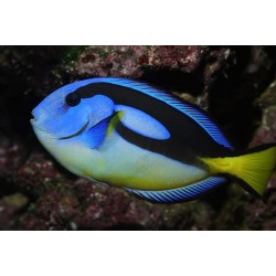 Paracanthurus hepatus Yellow belly XL